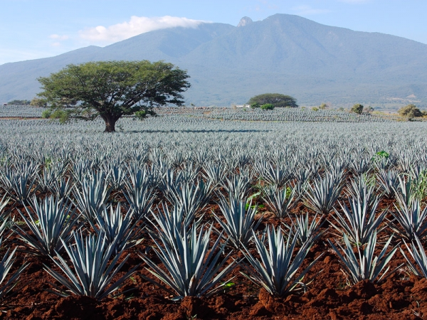 Sweet agave powder